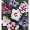 3.74-Gallon Mixed Rose of Sharon (L1203)