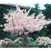 19.5-Gallon Yoshino Flowering Cherry (L3234)