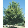 13.35-Gallon Red Maple (L1144)