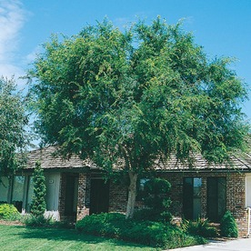 Shop 5 5 Gallon Lace Bark Chinese Elm L4376 At Lowes Com