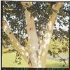 10.25-Gallon White-Barked Himalayan Birch (LW00701)