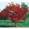  3.25-Gallon Amur Maple (L7792)