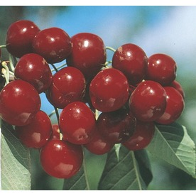 6.23-Gallon Bing Dwarf Cherry (L4383)