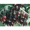  3.25-Gallon Supersweet Cherry (L24796)