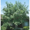 5.5-Gallon Chinese Pistache Tree (L1089)