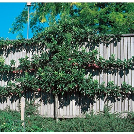 5.5-Gallon Espaliered Apple Tree (L9481)