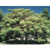 7-Gallon Mimosa Tree (L1103)