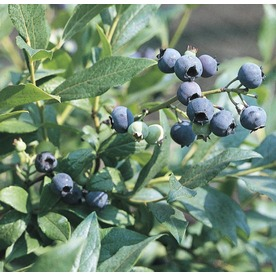 2.48-Gallon Tophat Blueberry Small Fruit (L11339)