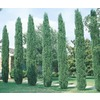  2.25-Gallon Italian Cypress Tree (L3291)