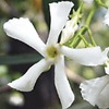 2.25-Gallon Confederate/Star Jasmine (L3067)