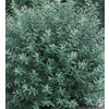 2.5-Quart French Pussy Willow (L14865)