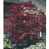 2.54-Gallon Assorted Upright Japanese Maple (L5413)