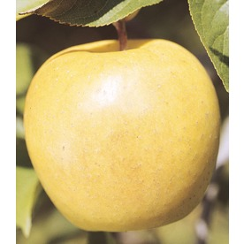 3.58-Gallon Yellow Delicious Semi-Dwarf Apple (L3592)