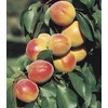  3.58-Gallon Super Sweet Apricot (L24786)