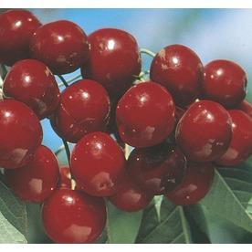 3.58-Gallon Bing Semi-Dwarf Cherry Tree (L3630)