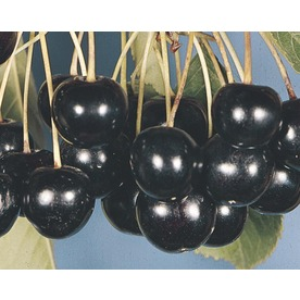 3.58-Gallon Black Tartarian Cherry Tree (L1256)