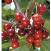 3.58 Gallon(S) Semi-Dwarf Cherry (L7396)