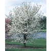 3.63-Gallon Cherokee Princess Dogwood (L7329)