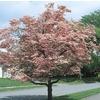 3.63-Gallon Pink Flowering Dogwood (L3181)