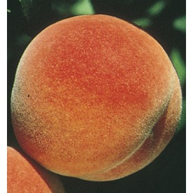 3.58-Gallon Red Haven Semi-Dwarf Peach (L3655)