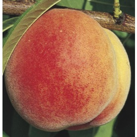  3.58-Gallon Super Sweet Peach (LW01532)