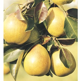 3.58-Gallon Moonglow Semi-Dwarf Pear (L4569)