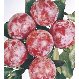 3.58-Gallon Santa Rosa Semi-Dwarf Plum Tree (L3664)