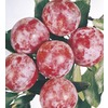  3.58-Gallon Santa Rosa Semi-Dwarf Plum (L3664)