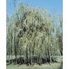 3.63-Gallon Golden Weeping Willow (L7641)