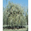 3.63-Gallon Niobe Weeping Willow (L4599)