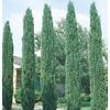 6.08-Gallon Italian Cypress (L3291)