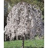 7.96-Gallon White Weeping Cherry (L3232)