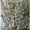 2.25-Gallon Rosy Rocket Barberry Accent Shrub (L24884)