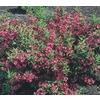 3.63-Gallon Pink Weigela Flowering Shrub (L1019)