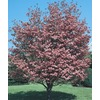 3.74-Gallon Pink Crabapple (L7002)
