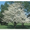 3.74-Gallon White Dogwood (L1053)