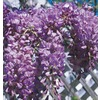 3.74 GAL WISTERIA STAKED