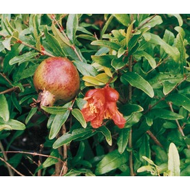 2.25-Gallon Pomegranate Tree (L7402)
