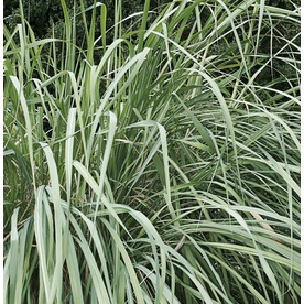 Shop 2 5 quart hardy pampas grass l4711 at for Hardy tall ornamental grasses