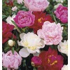  1.5-Gallon Peony (LB16167)