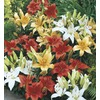 3.5-Gallon Temporary Container Asiatic Lily (LW01857)