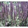  Quart Salvia (L4091)