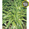 Pint Variegated Liriope (L3326)