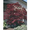 10.25-Gallon Assorted Upright Japanese Maple (L5413)