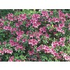 3-Gallon Purple Formosa Azalea Flowering Shrub (L5874)