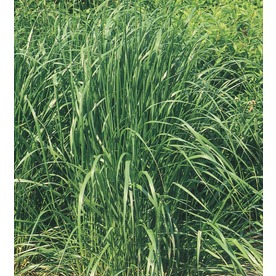 3-Gallon Feather Reed Grass (L5010)