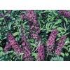 3-Gallon Violet Royal Red Butterfly Bush Flowering Shrub (L1235)