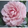 3-Gallon Pink Mrs. Tingley Camellia (L3382)