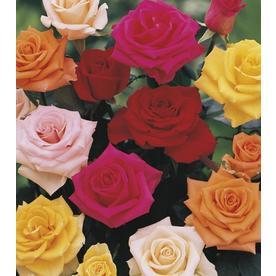 2.58-Gallon Premium Rose (L11179)