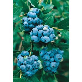 2.87-Quart Highbush Blueberry Small Fruit (L11096)